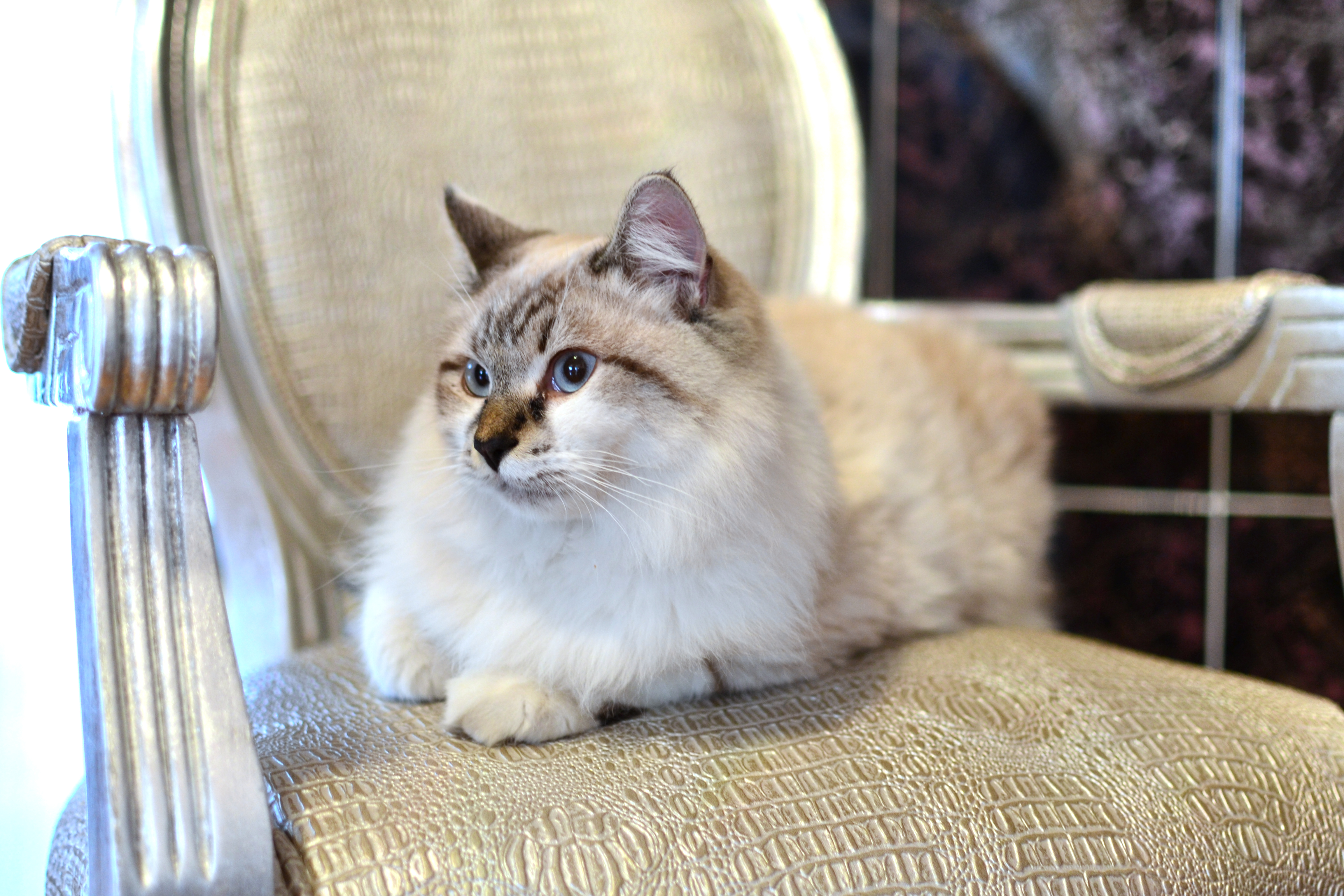 Beautiful Persian cat on a classic chair.